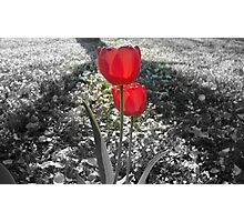 Tulips with Light Shining Through (Black and White with Color Focus) Photographic Print