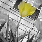 Bright Yellow Tulips (Black and White with Color Focus) by CrystalFanning