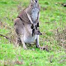 Mother & Joey At The Tower Hill Game Reserve. Victoria, Australia. by Ralph de Zilva