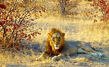 the King of the jungle by supergold