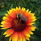 Bee on Gaillardia by Susan S. Kline
