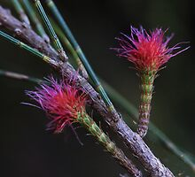 Allocasuarina littoralis by andrachne