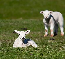 Spring Lambs by Ashley Crombet-Beolens