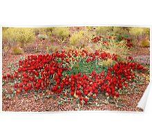 Sturt's Desert Pea Plant Poster