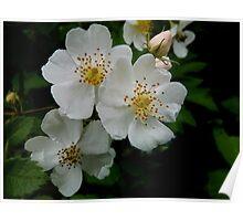 White Wild Rose Poster