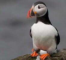 Lone Puffin. by Delboy10