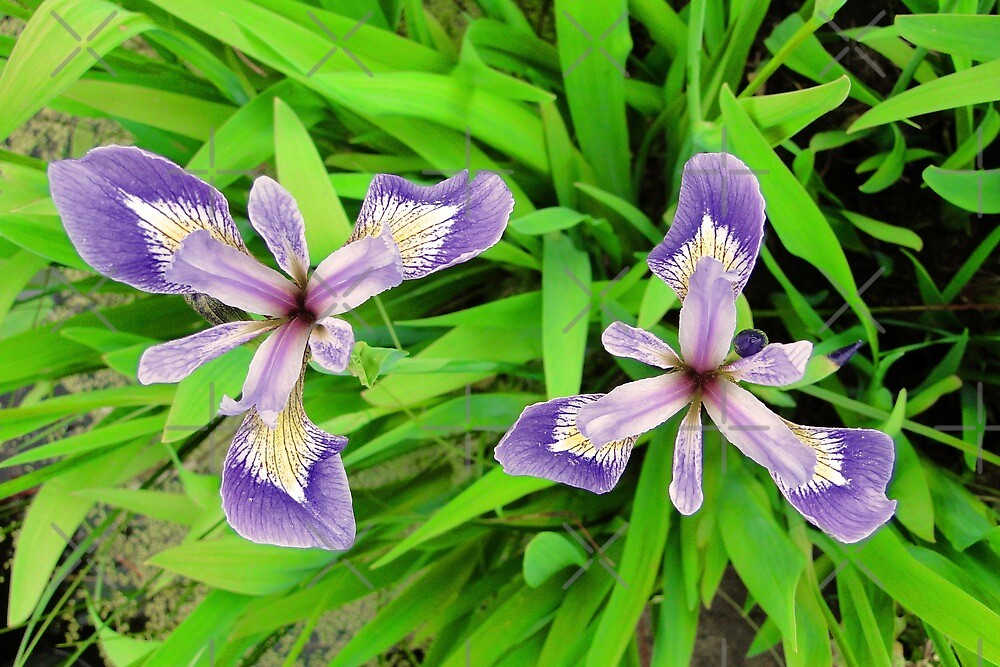 The Iris Twins by Barrie Woodward