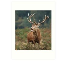 Bellowing Red Stag Art Print