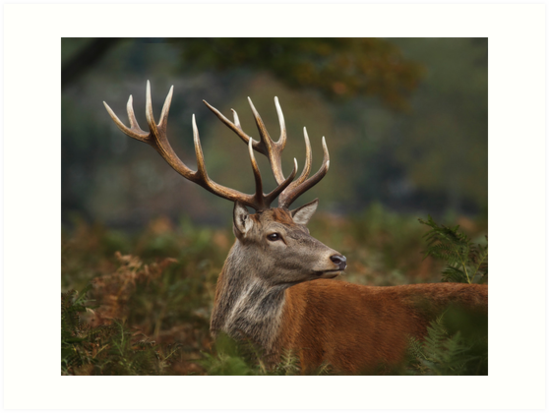 Majestic Red Deer by Patricia Jacobs CPAGB LRPS BPE4