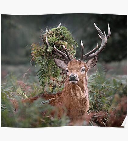 Red Deer Antler Adornment Poster