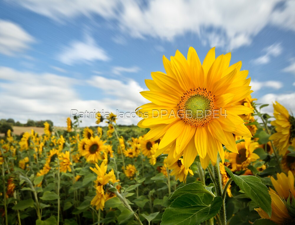 Sunflower by Patricia Jacobs CPAGB LRPS BPE3