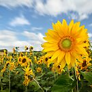 Sunflower by Patricia Jacobs CPAGB