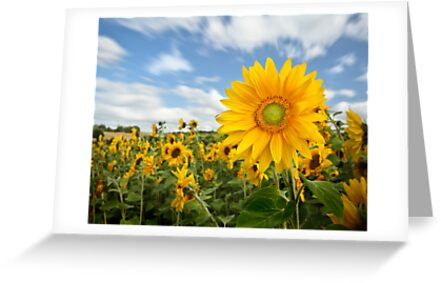 Sunflower by Patricia Jacobs CPAGB LRPS BPE4