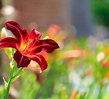 DayLily in Red by Kathy Nairn
