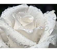 White Rose After The Rain Photographic Print