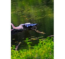 Great Blue Hero... Photographic Print