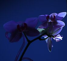 Orchid Moon by Mark Haynes Photography