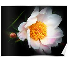 Soft Pink Peony Poster
