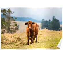 Outback Cow Poster