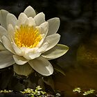 "POND LILLY- "" Queen Of Whites"" by Sandy Stewart"