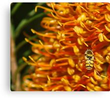 Hover Fly landing. Canvas Print
