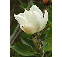 Magnolia (4713) Photographic Print