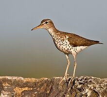 Spotted sandpiper by jamesmcdonald
