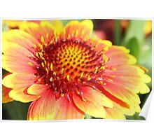 Gillardia flower, Everlasting Daisy Poster