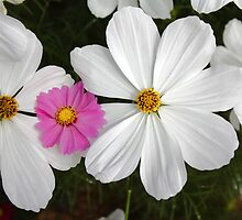 White and Pink Cosma flowers by Terry Rodger Smith
