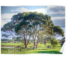 Eucalypts Poster