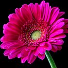 Hot Pink Gerbera by Janet Clark