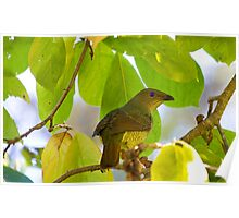 australia birds - the bower bird ( female) Poster