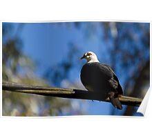 australia birds - the white-head pigeon Poster