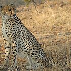 Classic cheetah posture-I am looking for food! by jozi1