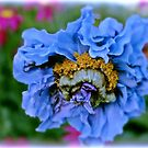 Poppy Blue by KatarinaD