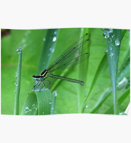 Damselfly and Waterdrups Poster