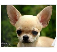 Short Coated Chihuahua Poster