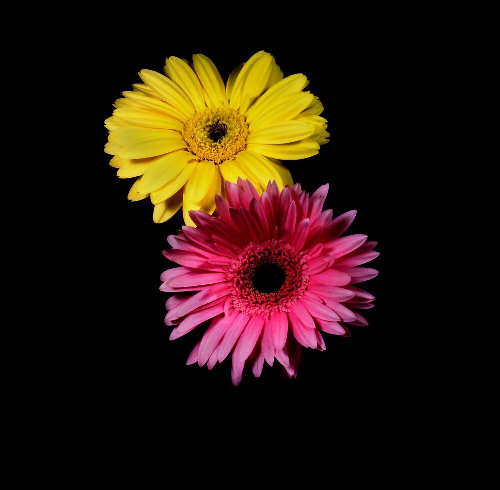 Yellow & Pink Gerber Portrait. by chris kusik