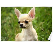 Short Coated Chihuahua 2 Poster