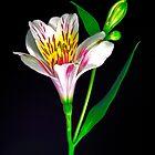 White Peruvian Lily Portrait. by chris kusik
