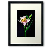 White Peruvian Lily Portrait. Framed Print