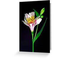 White Peruvian Lily Portrait. Greeting Card