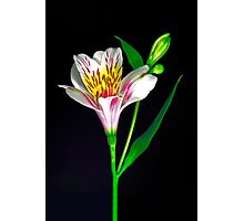 White Peruvian Lily Portrait. Photographic Print