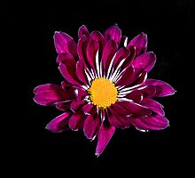 Purple Daisy Portrait. by chris kusik