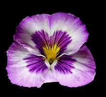 Purple Pansy Portrait. by chris kusik