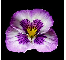 Purple Pansy Portrait. Photographic Print