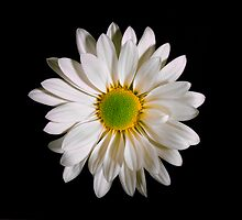 White Daisy Portrait. by chris kusik