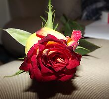 red and yellow tinted rose  by pauladolphins