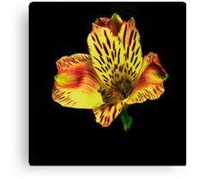 Yellow Peruvian Lily Portrait. Canvas Print