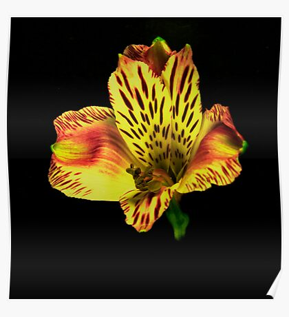 Yellow Peruvian Lily Portrait. Poster